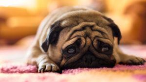 отравление у собаки 1