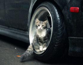 автотравма у кошки